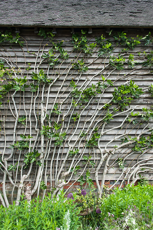 Wall-trained fig tree, Barn Garden, Great Dixter, late May.