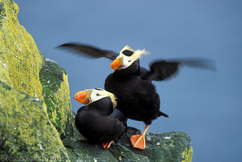 Tufted puffins, St. Paul Island, Pribilof Islands, Alaska. Two species live in Alaskan waters: the Horned Puffin (Fratercula corniculata) and the Tufted Puffin (Fratercula cirrhata).