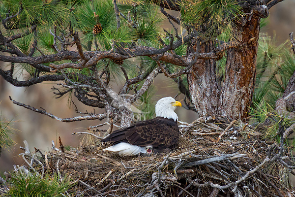 Bald Eagle Nest (Haliaeetus leucocephalus)--adult keeping ten to twelve day old eaglet warm in nest in tall ponderosa pine tree.  Oregon.  April.