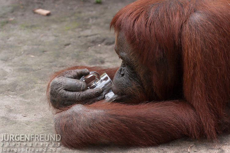Bornean Orangutan (Pongo pygmaeus wurmbii) - Siswi the Queen of the jungle of Camp Leakey drinking tea from a glass cup.