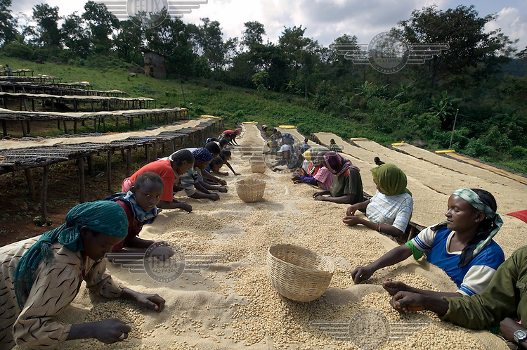 Agricultural labourers turn and grade Arabica coffee beans on the drying installations at a coffee processing facility supported by the Oromia Coffee Farmers Cooperative Union (OCFCU). OCFCU, established in 1999, helps farmers to implement fair trade and organic working practices in the renowned Yirgacheffe coffee-growing region.