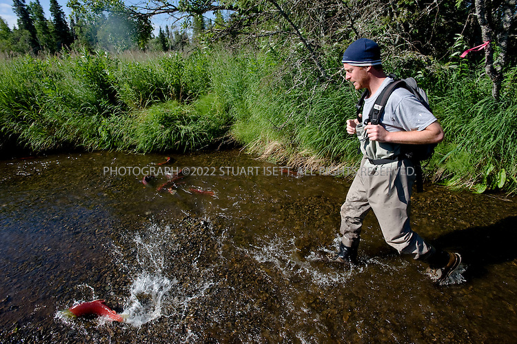 8/5/2008--Aleknagik, AK, USA..University of Washington researcher, Chris Boatright, 36, walks past spawning sockeye salmon in Hansen Creek near Aleknagik Lake. After returning from the Pacific, the salmon will spawn in the creeks and rivers of the region before dying. The Bristol Bay regionis home to some of the largest runs of salmon in the world and the world's largest sockeye salmon fishery. It's also a popular sport fishing area, and subsistence fishing is important to the region's native communities..The Pebble Mine site is currently being drilled to map deposits of ore for possible extraction. The mine contains large deposits of copper, gold, and molybdenum and is in the Bristol Bay region of Southwest Alaska, near Lake Iliamna. The proposal to build a large mine is controversial and opponents say it threatens nearby wild salmon runs from Bristol Bay into the nearby watersheds. .The mine is being explored by Pebble Ltd Partnership, a joint venture of  Northern Dynasty Partnership and Anglo American US LLC. The mine  would probably include an open pit and large dams to contain waste. Bristol Bay is home to some of the largest runs of salmon in the world and the world's largest sockeye salmon fishery. It's also a popular sport fishing area, and subsistence fishing is important to the region's native communities...©2008 Stuart Isett. All rights reserved.