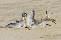 "Northern Elephant Seal (Mirounga angustirostris) pups (often called ""weaners"") spar--mostly play--like adults.  Central California coast."
