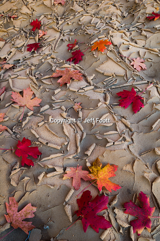 Bigtooth Maple (Acer grandidentatum )  fall leaves in wash. Zion National Park, Utah.