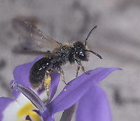 Bee on Flat-faced Downingia in dry vernal pool<br /> Downingia pulchella