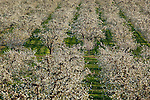 Hood River County, OR       <br /> Rows of fruit trees in blossom, Hood River Valley