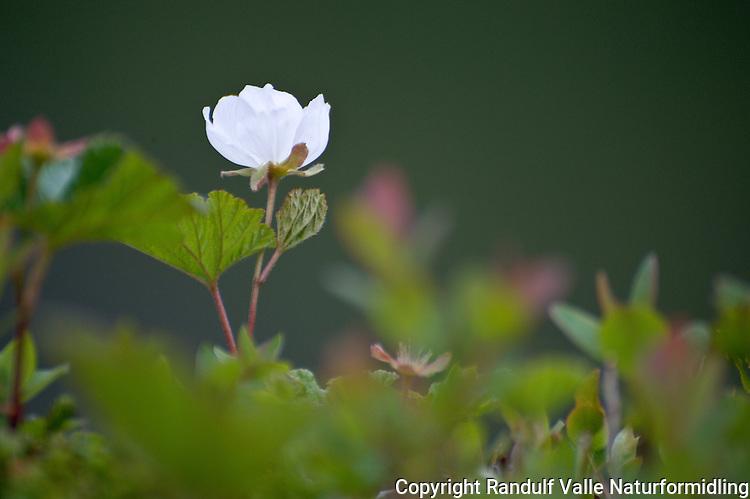 Molteblomst ---- Cloudberry flower