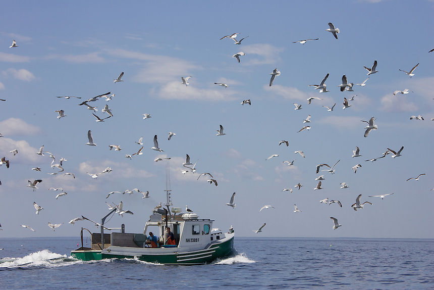 Great black-backed gulls and herring gulls follow a fishing boat off the Isles of Shoals, New Hampshire. Photograph by Peter E. Randall