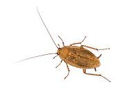 Tawny Cockroach - Ectobius pallidus - male