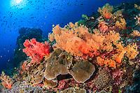 Reefscene Lembongan, Soft Coral, Bali, Indian Ocean, Indo-Pacific, Indonesia