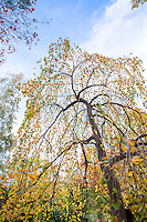 Weeping Katsura tree (Cercidiphyllum japonicum f. pendulum) in fall color Autumn  Edelson Garden