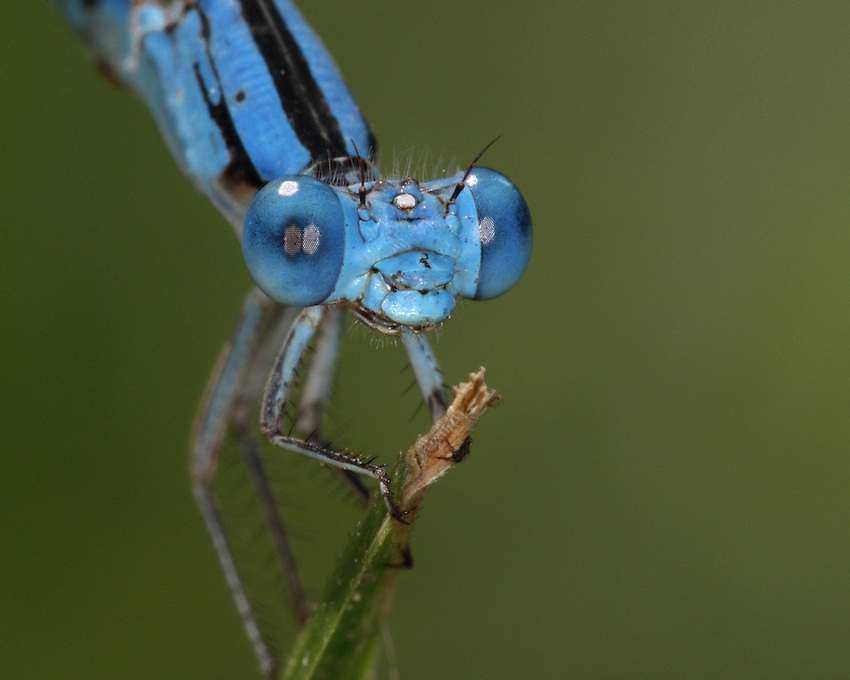 The Familiar Bluet (Enallagma civile) is a damselfly of the family Coenagrionidae, native to much of the United States and southern Canada.