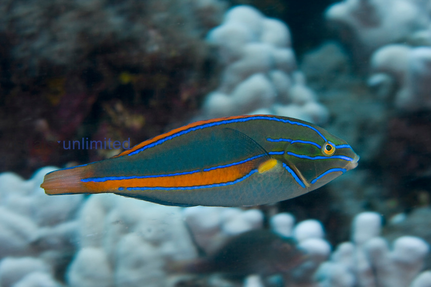 Terminal male Belted Wrasse (Stethojulis balteata), an endemic species to Hawaii, USA.