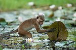 A Toque macaque lifts water lilly pads to check for buds. These are a popular and valuable food source for the monkeys. Archaeological reserve, Polonnaruwa, Sri Lanka. IUCN Red List Classification: Endangered