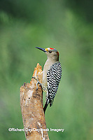 01195-00213 Golden-fronted Woodpecker (Melanerpes aurifrons) on snag Bentsen-Rio Grande State Park TX
