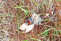 regurgitated pellets of indigestible, toxic plastic wastes from short-tailed albatross or Steller's albatross, Phoebastria albatrus, Muko-jima, Bonin Islands, Ogasawara Islands, Natural World Heritage Site, Tokyo, Japan, Pacific Ocean
