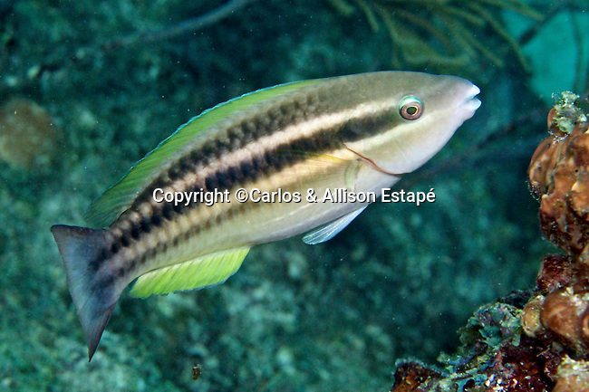 Scarus taeniopterus, Princess parrotfish, FL Keys