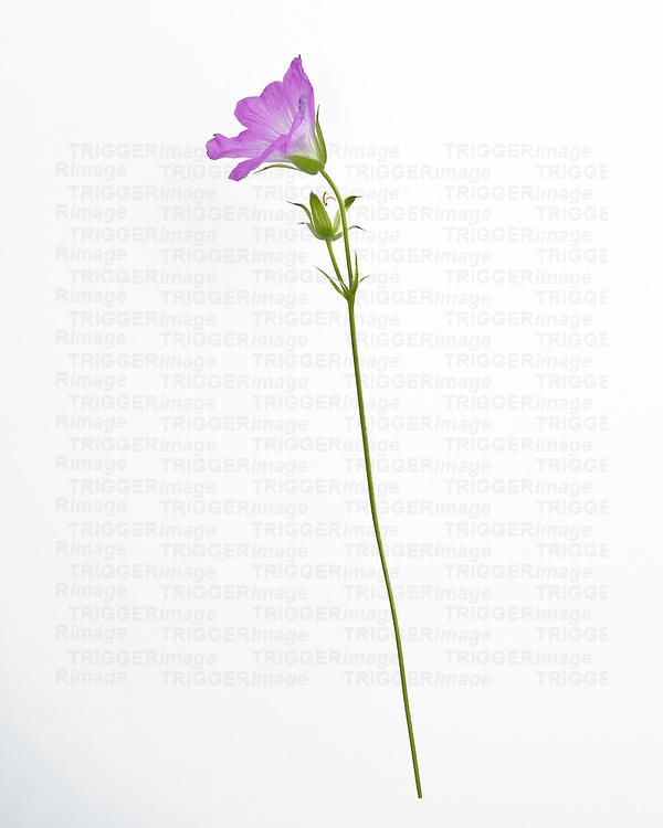Single purple flower on white background