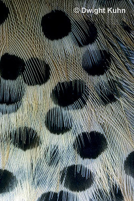 FK23-003d   Common Flicker - close-up of feathers - Colaptes auratus