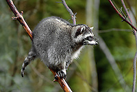 35-M03-RC-20    RACCOON (Procyon lotor) in tree, western Washington,  USA.