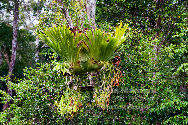 Platycerium is a genus of about 18 fern species in the polypod family, Polypodiaceae. Ferns in this genus are widely known as staghorn or elkhorn ferns due to their uniquely shaped fronds. This genus is epiphytic and is native to tropical and temperate areas of South America, Africa, Southeast Asia, Australia and New Guinea