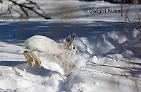 MA19-544z  Snowshoe Hare running on snow,  Lepus americanus