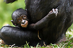 Bonobo female baby aged 3 months with her mother (Pan paniscus), Lola Ya Bonobo Sanctuary, Democratic Republic of Congo.
