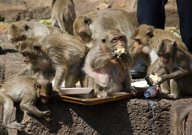 A Group of Monkeys eat Fruit at the Lop Buri Monkey Festival
