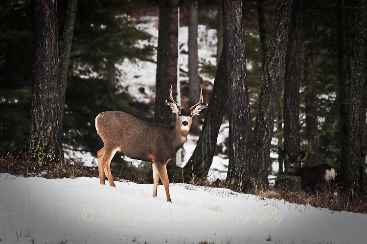 Mule Deer buck standing in the snow in a pool of light.