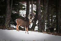 Mule Deer buck standing in the snow in a pool of light.