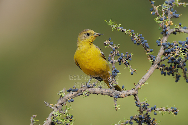 Scott's Oriole (Icterus parisorum), female on Guayacan (Guaiacum angustifolium), Chisos Basin, Chisos Mountains, Big Bend National Park, Chihuahuan Desert, West Texas, USA