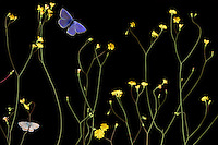 Nipplewort, Lapsana communis, with Escher&rsquo;s Blue butterfly, Polyommatus escheri, and Silver-studded Blue, Plebejus argus, Stenje  region, Lake Macro Prespa (850m) <br /> Galicica National Park, Macedonia, June 2009<br /> Mission: Macedonia, Lake Macro Prespa /  Lake Ohrid, Transnational Park<br /> David Maitland / Wild Wonders of Europe