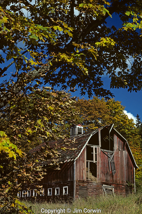 Old barn, weather beaten, falling down, framed with fall leaves on a sunny blue sky fall day, Woodinville, Washington State