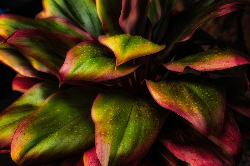 Close up of ti plant with rain drops. Hawaii, the big island