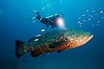 Epinephelus itajara, Florida, Goliath grouper, Jupiter, SCUBA diver