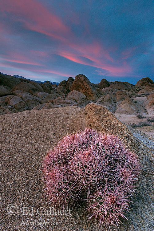 Dusk, Cottontop Cactus, Echinocactus polycephalus, Alabama Hills, Eastern Sierra, Inyo National Forest, California
