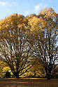 Fastigiate hornbeam (Carpinus betulus 'Fastigiata'), early November.
