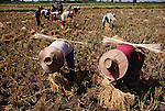 Farmers from Ban Muang Wa village, outside the northern town of Chiang Mai, Thailand, cut rice stalks with a scythe. They will let it dry on the ground for several days, then bundle it into sheaves and tie it with stalks of stiff grass. Published in Material World, page 85. Ban Muang Wa is the home village of the family of Boontham and Buaphet Khuenkaew, who were profiled in the book Material World: A Global Family Portrait.