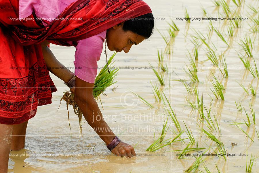 INDIA Westbengal, village Gandhiji Songha , SRI rice cultivation, replanting of rice seedlings from nursery to rainfed paddy field during monsoon / INDIEN Westbengalen , Dorf Gandhiji Songha , Landwirtschaft, SRI Reisanbau, Umpflanzen von Reissetzlingen im Monsun