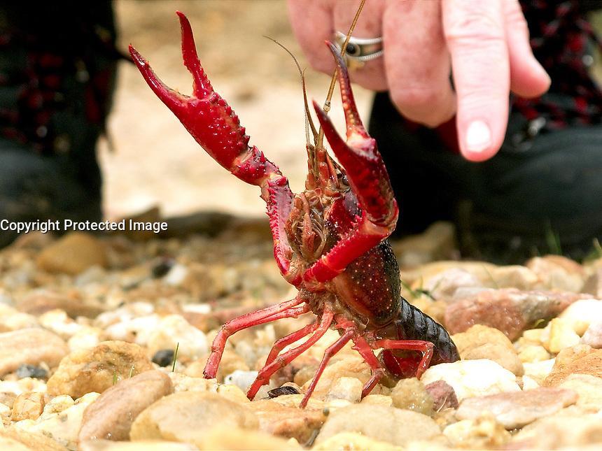 11-11-2010 Ejemplar de cangrejo rojo americano, especie invasora. Lugar  Laguna de Riocaldo en Begonte, Lugo. ADEGA denuncia a la empresa minera. El cangrejo autoctono gallego, esta en peligro. Foto:EFE/eliseo trigo
