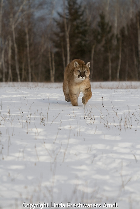 Cougar (Felis concolor) running in the snow