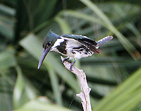 Female Amazon kingfisher getting set to fly