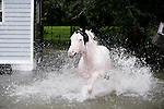 A horse charges through the water next to a flooded home as he awaits his turn to be evacuated to higher ground as residents along Old Shell Point road south of Tallahassee, Florida, deal with the flooding from tropical storm Fay August 25, 2008 after the tropical storm made a record fourth landfall near here August 23, 2008.