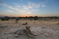 Two lions in Kalahari landscape at dawn