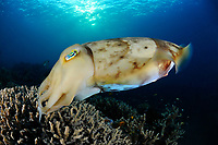 Broadclub cuttlefish, Sepia latimanus, laying eggs, Tulamben, Bali, Indonesia, Indopacific Ocean