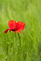A common red poppy, papaver rhoeas, blooms in a meadow of green wheat and grasses, Tuscany, Italy.