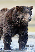 A close up photograph of a grizzly bear. Grizzly Bear or brown bear alaska Alaska Brown bears also known as Costal Grizzlies or grizzly bears