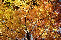 Abundant fall colors of a maple tree canope at the Morton Arboretum in Lisle, IL