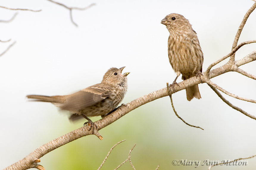 A juvenile house finch, carpodacus mexicanus, (actually capable of flying down to the seed tray for his own food) begs its mother for food.