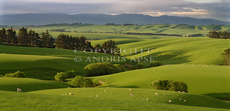 Sheep and lambs on rolling green farmland near Balclutha. Otago Region. New Zealand.